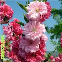 观赏桃花树