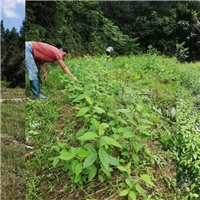 供应优良山胡椒(山苍籽)种苗