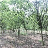 成都供应紫薇 大型苗圃基地紫薇报价 价格低