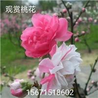 湖北笑春风观赏桃苗培育基地