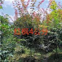 6公分红枫多少钱  6公分红枫价格