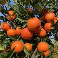 湖南基地供应世纪红柑橘苗