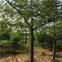 江西吉安木棉树种植基地木棉树苗选购厂