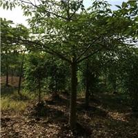 江西吉安木棉树种植基地木棉树苗选购