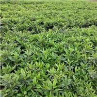 农户种植直销绿化苗木毛杜鹃价格合理厂