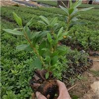 农户种植直销绿化苗木毛杜鹃价格合理