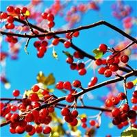 今年新�� 山丁子种子 品种纯正 嫁接果树
