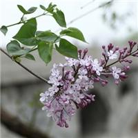 绿化播种紫丁香种子苗圃培育小苗
