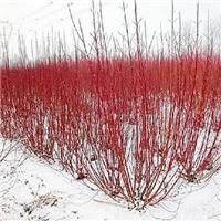 今年新�� 红瑞木种子 厂家批发价格