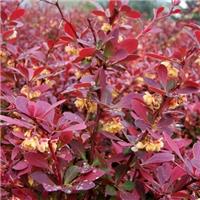 当年新�� 紫叶小檗种子 多少钱一斤