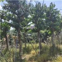 湖南长沙绿化工程苗大叶紫薇绿化苗出售
