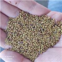 春季播种育苗紫花苜蓿种子保真保新出芽率高