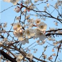 苏州樱花树、染井吉野樱