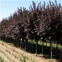 今年新採紫叶稠李种子树籽出苗迅速整齐