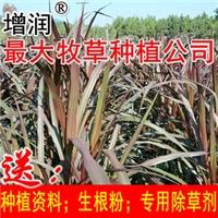 红象草 紫色皇竹草牧草种子 红象草种节种苗