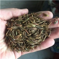 辽宁省红丁香种子东北红丁香种子