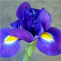 今年新�� 紫花鸢尾种子 当年新货 发芽率高