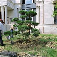 苏州别墅绿化苗木 庭院景观苗木批发