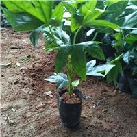 基地直销供应绿化工程苗灌木八角金盘