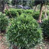湖南长沙非洲茉莉球绿化行道树非洲茉莉球厂