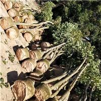 益盈绿化园艺场长期供应各种规格黄花风铃木