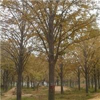无极县出售银杏、柏树、法桐等绿化苗木