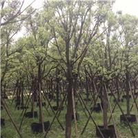 大型绿植观赏树景观树景观全冠香樟