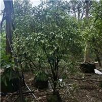 花叶垂叶榕在湖南长沙的价格是150元起厂