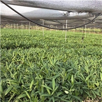 漳州基地农户种植棕竹袋苗特价直销