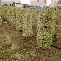 贵州贵阳哪里有卖的星光榕自产自销