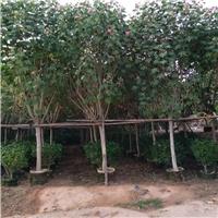 品种优良木芙蓉广东广州长期提供