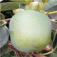 黑柿子苗营养价值高柿子苗新品种 黑柿子苗价格 黑柿子苗批发厂