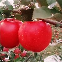 矮化苹果苗新品种维纳斯黄金苹果苗厂