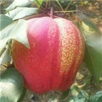 秋月梨苗当年种植次年结果 秋月梨苗价格 秋月梨苗产地厂