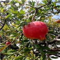 软子石榴苗价格突尼斯是石榴苗新品种 软籽石榴树苗基地