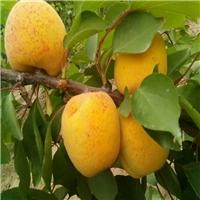 丰园红杏口味香甜果子全红 丰园红杏树价格 丰园红杏树基地厂