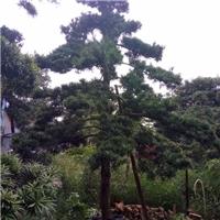 产地直销大型景观树造型树罗汉松