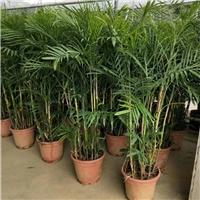 湖北基地批发供应室内植物散尾葵
