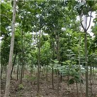 大量供应楸树,梓树2-8公分,周口楸树苗