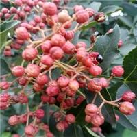 大红袍花椒苗基地纯正九叶青花椒苗品种