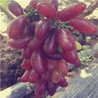 晚熟葡萄苗品种冰美人与克伦生葡萄苗一样