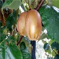 红阳猕猴桃新品种的红心猕猴桃北方种植