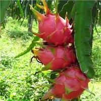 北方种植的火龙果苗啥价格一棵