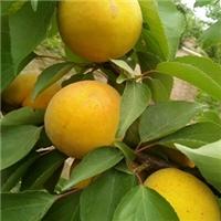 珍珠油杏山东地方品种真好吃的杏苗品种