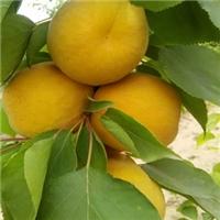 荷兰香蜜杏晚熟抗冻的品种全国都能种
