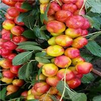 钙果新品种农大八号有啥优点旺运苗木和你说厂