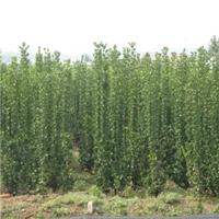 绿篱墙用北海道黄扬效果好抗寒效果好