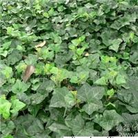 京藤八号是常春藤的新品种