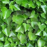 苗圃种植常春藤基地京藤八号常春藤价格低