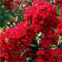百日红的花色品种多美国红火箭紫薇漂亮